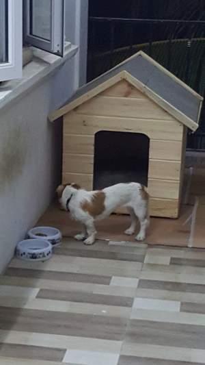 Short- Legged Jack Russell  - Dogs on Aster Vender