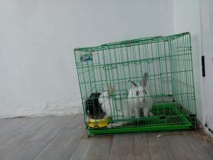 2lionhead 1 angora avec cage - Rabbit on Aster Vender