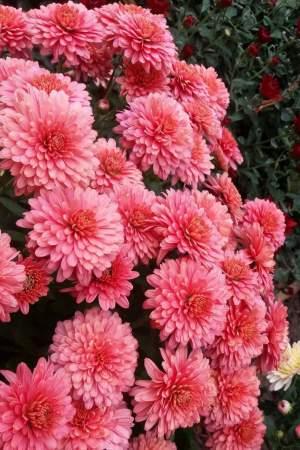 Florist - Florist on Aster Vender
