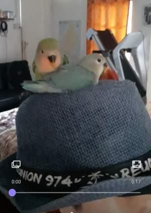 lovebird - Birds on Aster Vender