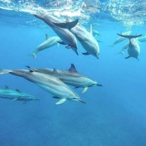 Dolphin watching mauritius - Dolphin Watching on Aster Vender