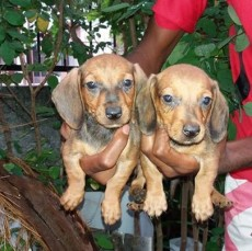 Teckel male et femel 6semaim deja vaccine et purge - Dogs on Aster Vender