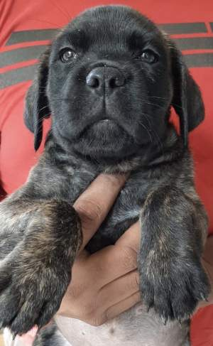 cane corso female  - Dogs on Aster Vender