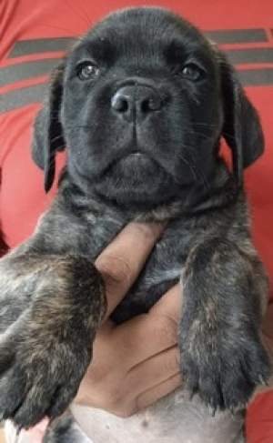 cane corso - Dogs on Aster Vender
