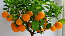 Mandarin plants as 150rs to 225 rs - Plants and Trees on Aster Vender