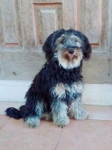 A vend Griffon nain Rs 6,000 Feml - Dogs on Aster Vender