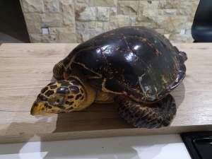 Stuffed naturalised turtle - Antiquities on Aster Vender