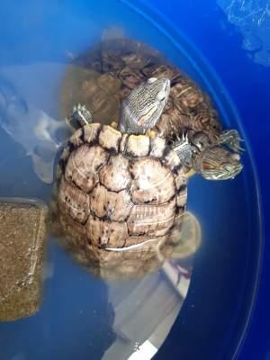 Tortues - Turtles on Aster Vender