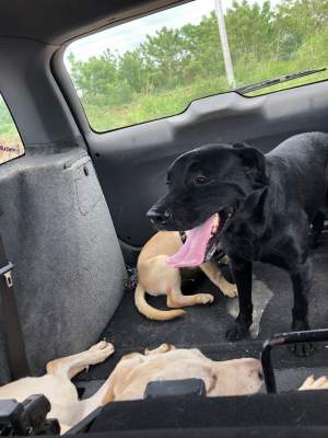 Labrador Puppies for sale - Dogs on Aster Vender