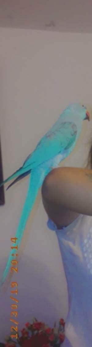 Cato bleu - Birds on Aster Vender