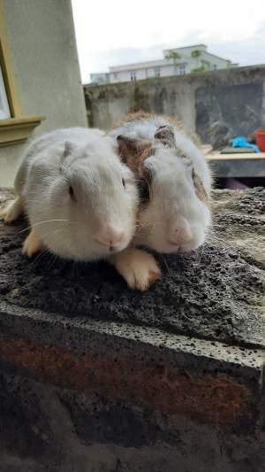 Rabbit for sale - Rabbit on Aster Vender