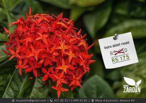 Ixora rouge plant - ( Giant ) - Plants and Trees on Aster Vender