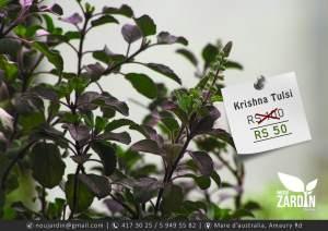 Krishna Tulsi plant - Garden Decorations on Aster Vender