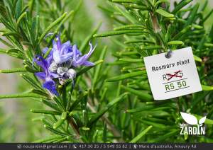 Rosemary plant - Garden Decorations on Aster Vender