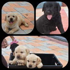 Purebred labrador puppies - Dogs on Aster Vender