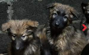 Puppies for sale - Dogs on Aster Vender