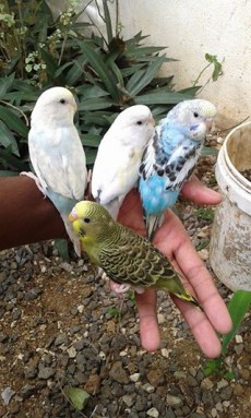 A vend PERRUCHE aprivoiser RS 700 UNITER / RS 1200 PR CALL 58610146 - Birds on Aster Vender