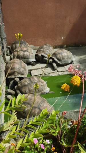 Land tortoises - Turtles on Aster Vender