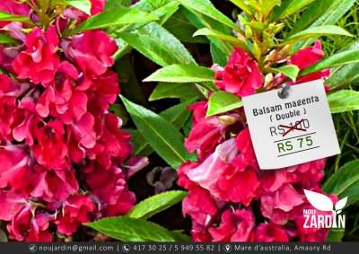 Balsam Magenta Double Plant