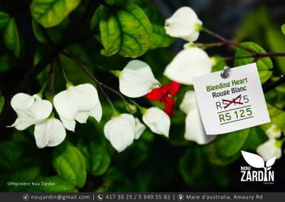 Bleeding Heart Plant - Plants and Trees on Aster Vender
