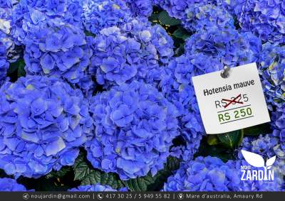 Hortensia plant - Plants and Trees on Aster Vender