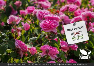 Rose Plant - Plants and Trees on Aster Vender
