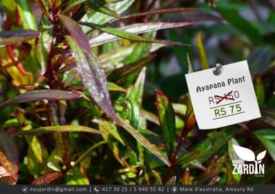 Ayapana Plant