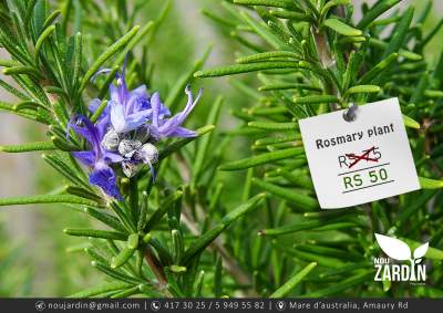 Rosemary Plant - Plants and Trees on Aster Vender