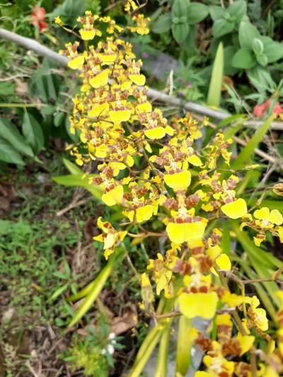 Orchidée pluie étoilée