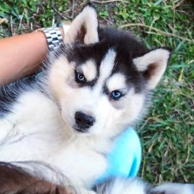 beautiful Siberian husky puppy - Dogs on Aster Vender