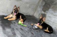 Two females german shepherds. Urgent sale. - Dogs on Aster Vender