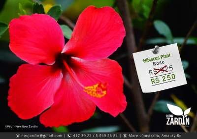 Hibiscus Plant - Plants and Trees on Aster Vender