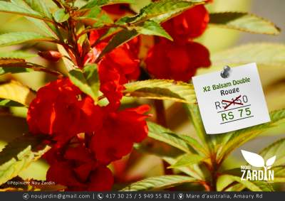 Balsam Rouge