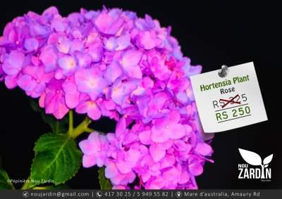 Hortensia Plant