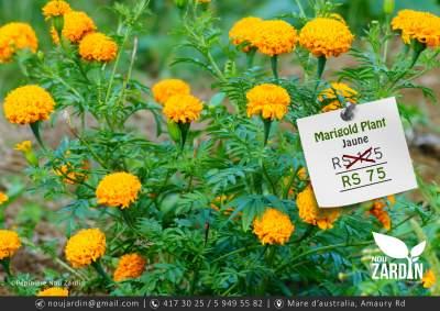 Marigold Plant