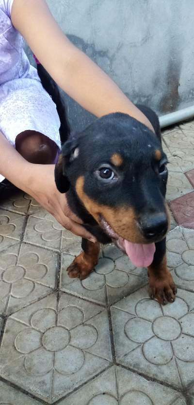 Rottweiler puppy for sale  - Dogs on Aster Vender