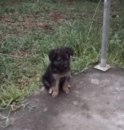Long haired German Shepherd puppy - Dogs on Aster Vender