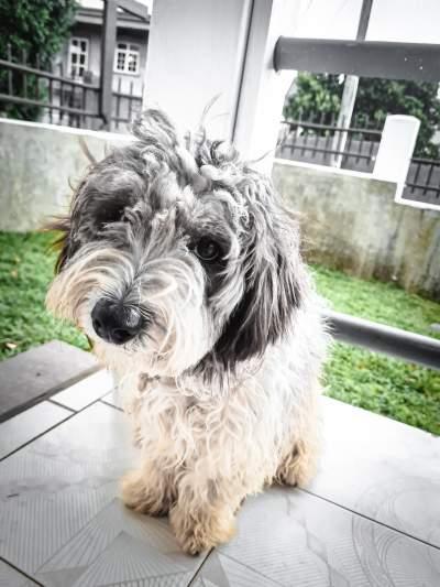 Griffon nain à vendre - Dogs on Aster Vender