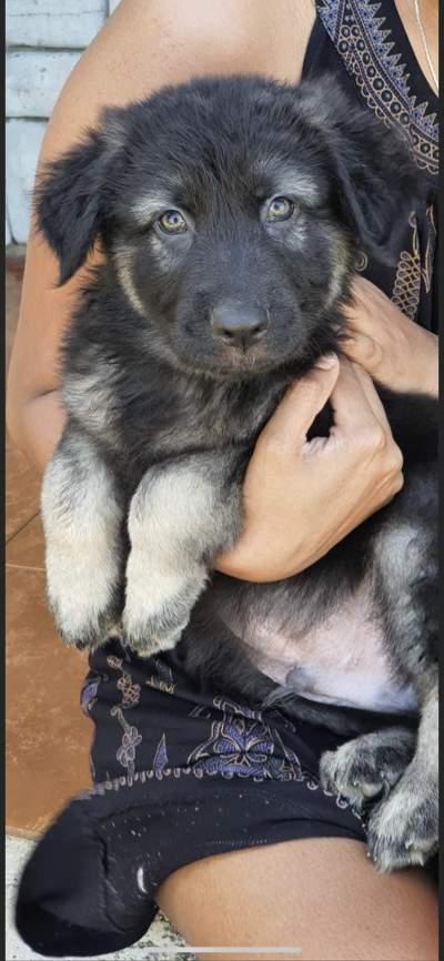 german shepherd long coat 23k adebat call on 58097509 - Dogs on Aster Vender