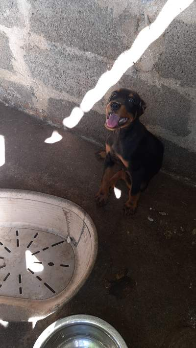 Rottweiler puppy  - Dogs on Aster Vender