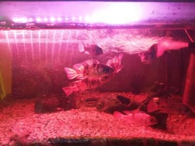 Ciclid -  Aquarium fish on Aster Vender