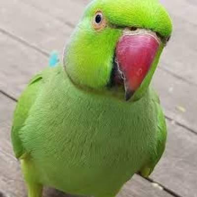 Cato Vert Apprivoisé - Birds on Aster Vender