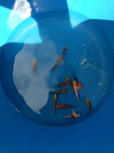 Koi 5-7cm for sale -  Aquarium fish on Aster Vender