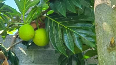 Plants de Fruit à pain - Plants and Trees on Aster Vender