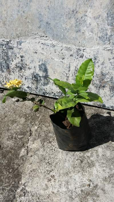ixora jaune - Garden Decorations on Aster Vender