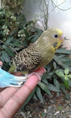 A vend perruche aprivoise RS 700 -1 call 58610146 - Birds on Aster Vender
