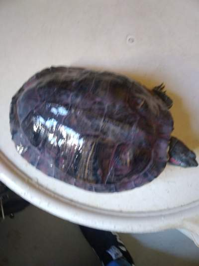 Tortue d'eau douce  - Turtles on Aster Vender