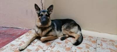 Dog berger allemand  - Dogs on Aster Vender