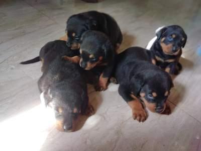 Rottweiller  - Dogs on Aster Vender