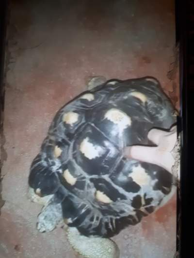 Turtle - Turtles on Aster Vender